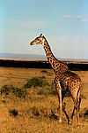 Africa, Kenya, Maasai Mara. A Maasai Giraffe in the African savannah.