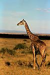 Africa, Kenya, Maasai Mara. A Maasai Giraffe in the African savannah.