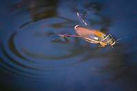 Diving beetle. Arne, Dorset, UK.