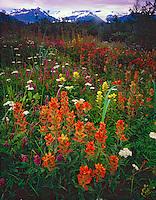 Wildflower Fields at Alsek Lake, Glacier Bay National Park and Preserve, Alaska   Indian paintbrush
