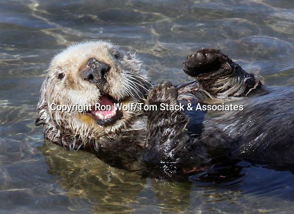 Southern Sea Otter (Enhydra lutris). Moss Landing State Beach. Moss Landing, Monterey Co., Calif.