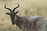 Swayne's Hartebeest, Alceluphus buselaphus swaynei, Senkele Wildlife Sanctuary, Ethiopia, Endemic, Endangered, in rain, Africa