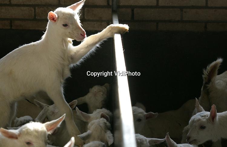 Foto: VidiPhoto..VALBURG - Een ware babyboom bij melkgeitenhouder Erik Timmermans uit Valburg. De veehouder heeft naast 90 melkkoeien, zo'n 500 melkgeiten. Op dit moment is het topdrukte op zijn bedrijf. Er zijn inmiddels 200 jonge geitjes geboren en dat is de helft van wat verwacht wordt. De geiten zijn voor uitbreiding van het bedrijf. De vraag naar geitenmelk voor de Nederlandse markt neemt namelijk nog steeds flink toe. Steeds meer consumenten kiezen voor kaas- en melkproducten van geiten vanwege de exclusiviteit en de gezondheid (allergie).