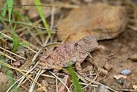 437580001 a juvenile hernandezs short-horned lizard phrynosoma hernandesi hernandesi sits among grasses in catron county new mexico