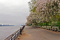 Blooming trees, Riverside Park, Manhattan, New York City, New York, USA