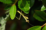 Mantis under leaf, Carolina Mantis, Stagmomantis carolina, Praying Mantis, Huntsville, Alabama