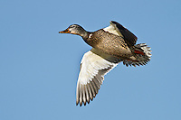 Mallard Hen in flight at Bosque Del Apache NWR