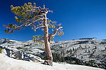 Juniper tree at Olmstead Point,  Yosemite National Park, California, USA