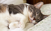 Bertie, a blue tabby and white shorthair cat, laying on his side all cutely with his eyes closed and paws curled up.