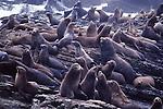 CA sea lions on Ano Nuevo Island