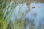 Columbia Ranch, Brazoria County, Damon, Texas; a Pied-billed Grebe (Podilymbus podiceps) bird floating on the water's surface of the slough