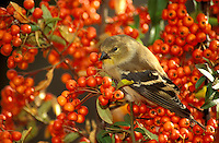 Goldfinch in pyracantha berries