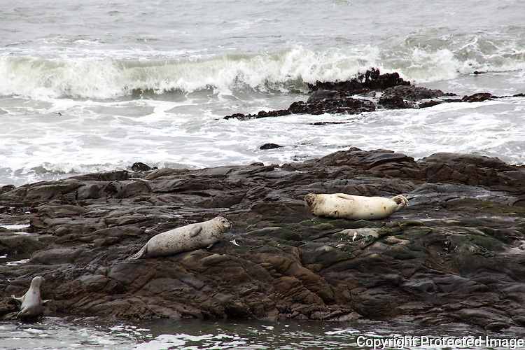 Two mature Harbor seals lie, nearly motionless, on the rocky outcrops of Bean Hollow State Beach.  Meanwhile, a juvenile struggles to join them.