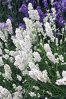 Lavandula angustifolia 'Blue Mountain White' English lavender