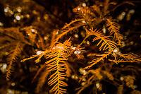 Light on the Pine