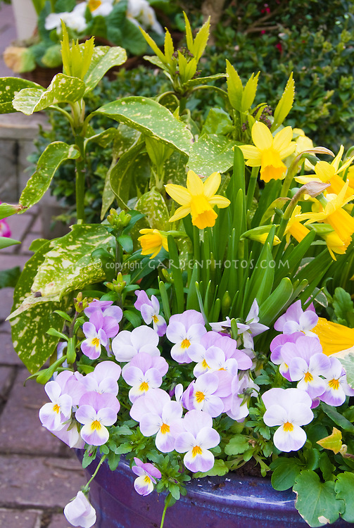 Viola pansies, Narcissus daffodil bulbs, Aucuba in blue ceramic pot container in spring