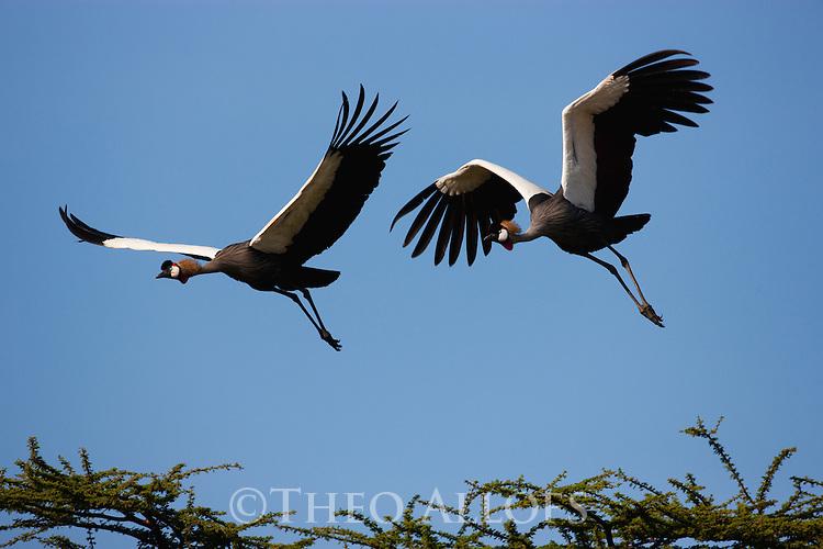 Tanzania, Ngorongoro Conservation Area, Ndutu, crowned cranes in flight