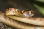 Brown Tree Snake, Boiga Irregularis