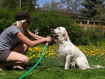 Young woman giving her Golden Retriever a bath from a hose in a back yard