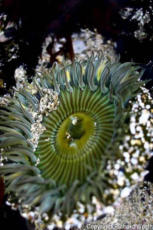 Hungry, always hungry, a sea anemone's tentacles waft in a tide pool, intent on guiding food to its mouth in the center.