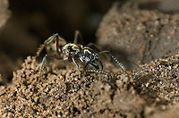 305150005 a wild texas bullet ant genus pachycondyla at the entrance to its colony den on a ranch in the rio grande valley of south texas
