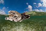Pet baby hawksbill turtle (Eretmochelys imbricata) split level in the shallows.