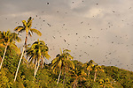 Fruit bats flying out of the island as the sun sets where they roost during the day.