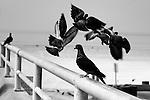 Beach Pigeons 1, Seal Beach, CA.