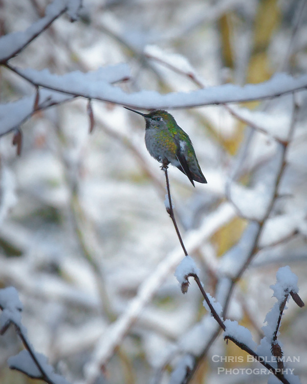 Anna's Hummingbird is perched on end of snow covered tree branch with filtered sunlight in the background