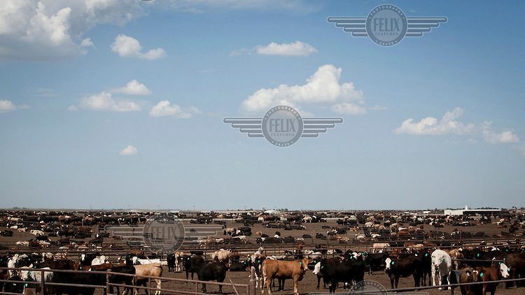 Beef cattle waiting for one of their four daily feeds stand in pens in a feedyard in South West Kansas. A feedyard is part of the factory farming process where animals are fattened up prior to slaughter. They are mostly fed on corn or corn dervived products gaining between 2.5 and 4.5 pounds per day. 25% of all American beef is produced in Kansas.