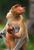 Proboscis Monkey  (Nasalis larvatus),  female with  baby, Kinabatangan river, Sabah, Borneo, Malaysia