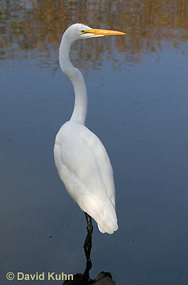 0111-0935  Great Egret, Ardea alba  © David Kuhn/Dwight Kuhn Photography