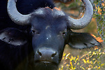 Africa, South Africa, Kwandwe. Cape Buffalo, one of the Big Five of African wildlife game.