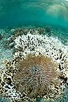 Etoile de mer &eacute;pineuse d&eacute;vorant un r&eacute;cif de corail aux iles Banggais<br /> <br /> Etoile de mer &eacute;pineuse, Acanthaster planci, Ile Banggai, Sulawesi, Indon&eacute;sie Mission Banggai Cardinal Fish, Mai 2008, Act for Nature - Musee oceanographique de Monaco