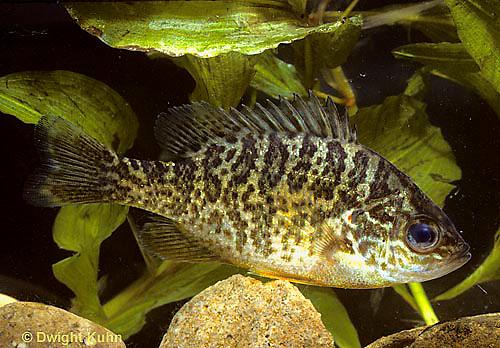 SS01-014c  Pumpkinseed Sunfish -  Lepomis gibbosus