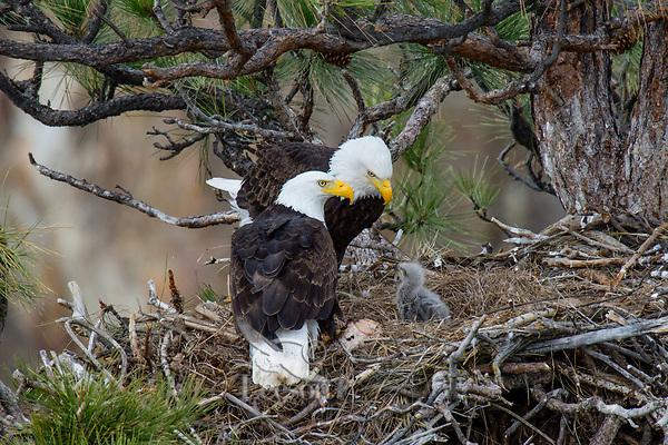 Bald Eagle Nest (Haliaeetus leucocephalus)--adults with several week old eaglet in tall ponderosa pine tree.  Oregon.  April.