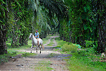 A boy rides a horse amidst the African palm oil trees on the La Lempira Cooperative, near Ceibita, Honduras. La Lempira is an agricultural project which has been seized by armed peasants who claim the land is rightfully theirs under the country's agrarian reform law.
