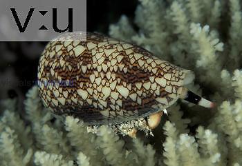 Textile Cone Shell ,Conus textile,, Indo-Pacific.