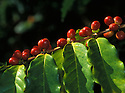 "Kona coffee ripe ""cherry"" on tree; South Kona, Island of Hawaii."