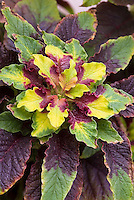 Amaranthus tricolor Splendens annual foliage plant in red, purple, green, yellow leaf colors