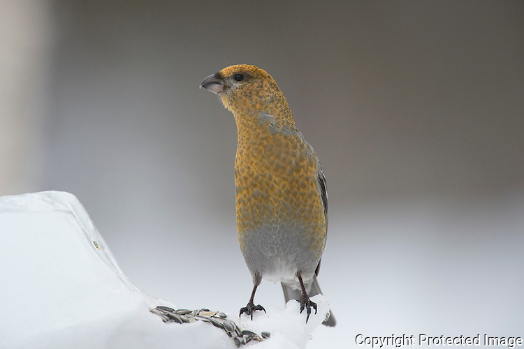 Konglebit (Pincola enucleator) ----- Pine Grosbeak (Pincola enucleator)