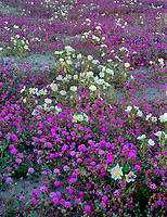 CADAB_112 -  Desert sand verbena and dune evening primrose bloom on dunes at base of the Santa Rosa Mountains, Anza-Borrego Desert State Park, California, USA --- (4x5 inch original, File size: 6000x7780, 133mb uncompressed)
