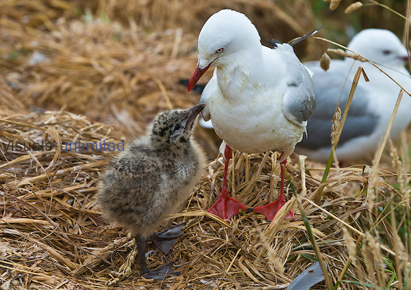Red-billed Gulls with young (Chroicocephalus scopulinus), New Zealand