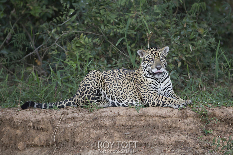 Wild Jaguar at riverbank, Pantanal, Brazil