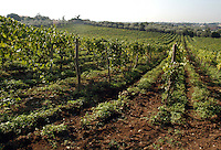 Azienda Agricola Casale Marchese è una azienda in una delle zone più tipiche della produzione del vino Frascati D.O.C. Situata nell'area dei Castelli Romani..The Casale Marchese company lies in Roman Hills. The most typical area for the wine production Frascati D.O.C..Contadini durante la raccolta di uva. Farmers during the harvesting of grapes..
