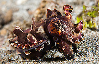 Flamboyant cuttlefish are one of the most beautiful cephalopods, with beautiful markings and colors.  They are typically found crawling across rubble and sand and are capable of changing the texture and color of their skin to match their surroundings.  They feed on small shrimps and fish by rapidly striking out with a pair of feeding tentacles. The Lembeh Strait in N Sulawesi is famous for its unusually high marine biodiversity, particularly of unusual animals that live on the exposed sand areas.