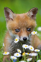 Red Fox pup (Vulpes vulpes) in flowers, Normandy, France.