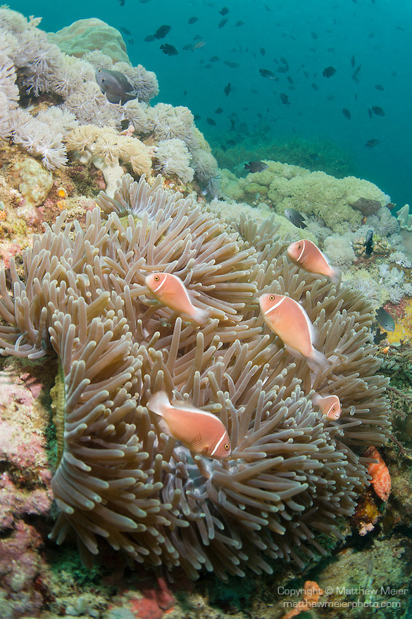 Anilao, Philippines; several Pink Anemonefish (Amphiprion perideraion) swimming amongst a large carpet anemone, with soft corals and reef fish in the background