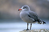 Heermann's Gull, 17 Mile Drive, Pacific Grove, California