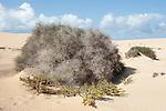 Broom, Fabaceae sp, & prickly bush on sand dunes, Corralejo Dunes National Park (Parque Natural de las Dunas de Corralejo), Fuerteventura, Canary Islands, Spain